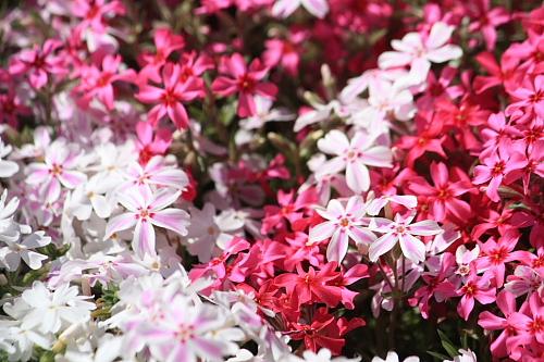 11芝桜5