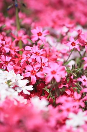 11芝桜6