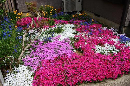 13芝桜6