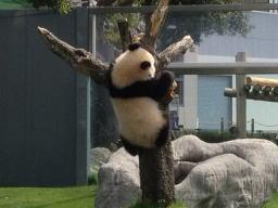 大熊猫と書くくらいなので、猫の性格の熊みたいです