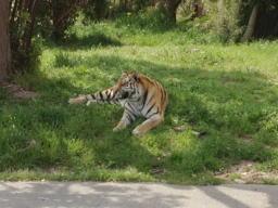 動物園といったらやっぱりトラを見なきゃ