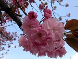 桜を撮影するのって難しいね