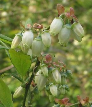513px-Vaccinium_corymbosum_Blauwe_bes_bloemen.jpg