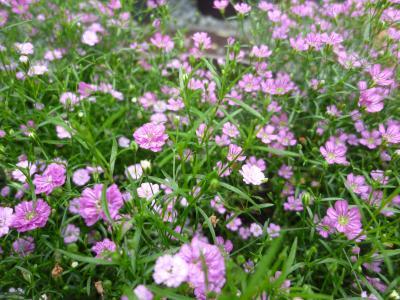 ピンク色のかすみ草
