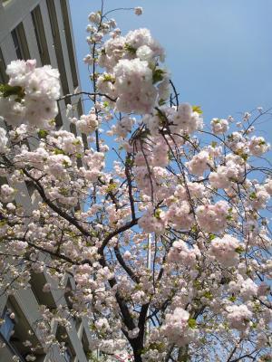 桜新町桜2012.4.15