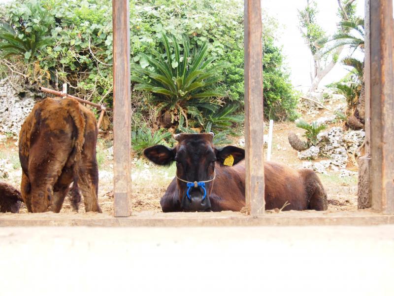 目、合いすぎの牛