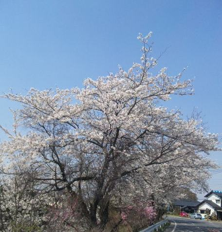 4月13日桜