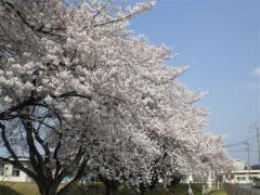 1004_桜 (1)