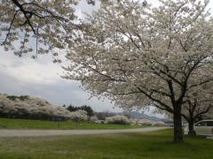 1004_こだま千本桜