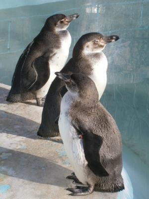 フンボルトペンギンたち(25.1.1)