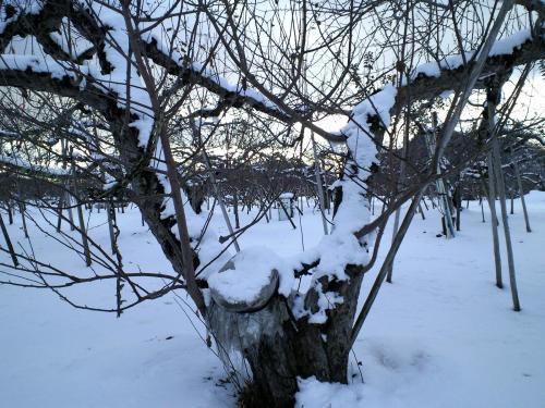 雪のリンゴ畑(24.12.25)