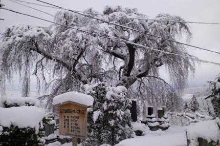 宇木区民会館前の白山のしだれ桜(24.12.29)