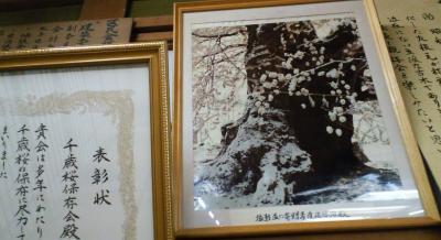 千歳桜の珍しい写真(25.1.12)