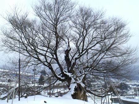 西側からの千歳桜全景(25.1.19)