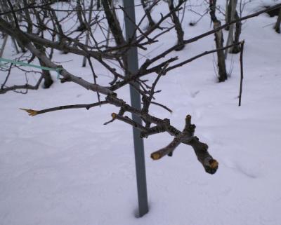 枝を食いちぎられたリンゴの樹(25.1.23)