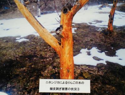 リンゴの樹皮かわはぎ被害(25.2.27)