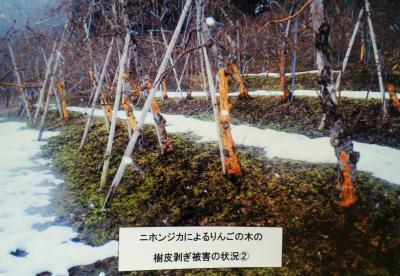 リンゴの樹皮被害(25.2.27)
