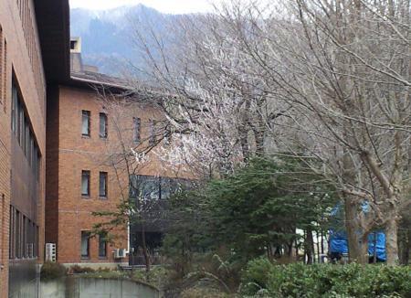 役場の裏の桜咲く(25.3.27)