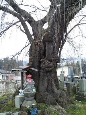29日の区民会館前のしだれ桜(25.3.29)