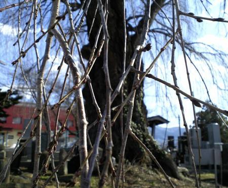 3月16日のしだれ桜の枝(25.3.16)