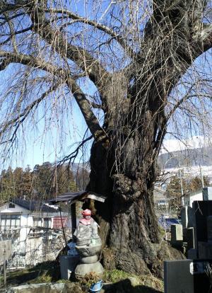 3月16日の区民会館前のしだれ桜(25.3.16)
