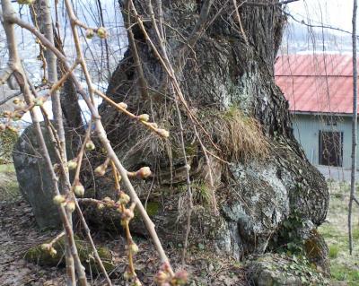 北側から見たしだれ桜(25.3.30)