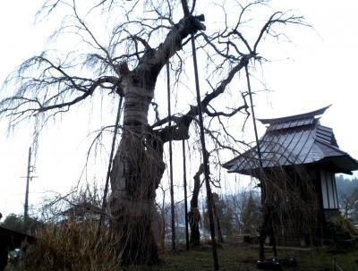 しだれ桜と天神社(25.3.31)