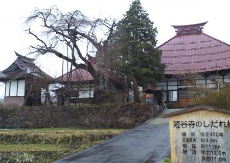 隆谷寺のしだれ桜(25.3.31)