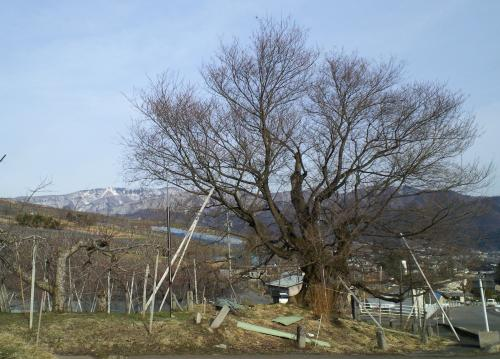 西側から見た千歳桜(25.4.1)