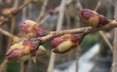 枝のつぼみ(25.4.2)