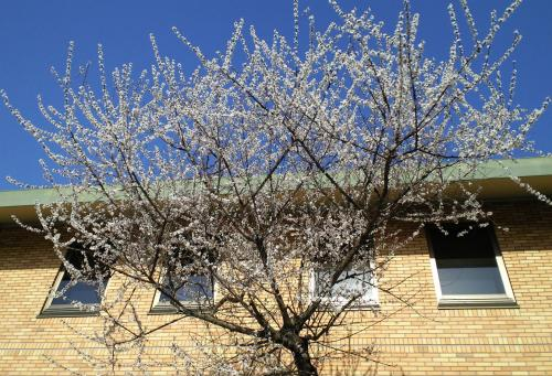 蟻川図書館のロトウ桜(25.4.4)