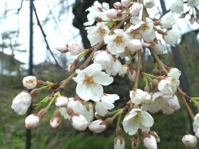 大日庵のしだれ桜開花(25.4.7)