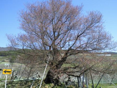 今日の千歳桜(25.4.8)