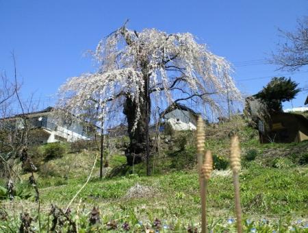 大日庵のしだれ桜と土筆(25.4.8)