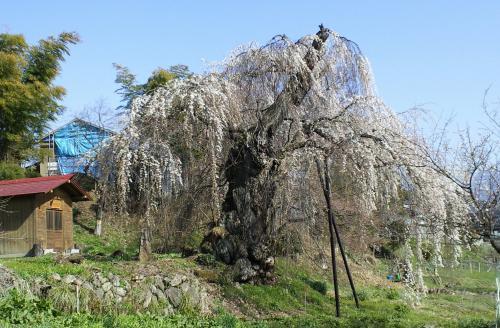 大日庵のしだれ桜(西側から)(25.4.9)