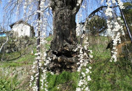 大日庵のしだれ桜(25.4.9)