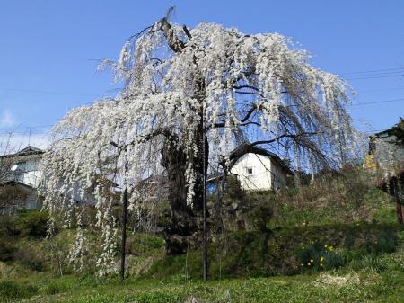 大日庵のしだれ桜八分咲き(25.4.10)