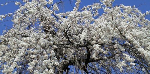 大日庵の白い桜(25.4.10)