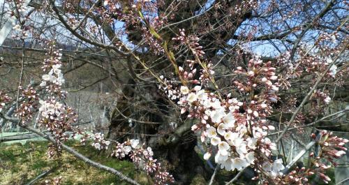 千歳桜二分咲き(25.4.10)