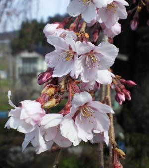区民会館前のしだれ桜(25.4.10)