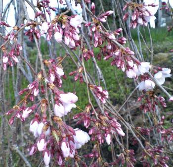 区民会館前のしだれ桜(25.4.11)