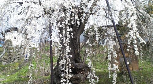 大日庵のしだれ桜(25.4.12)