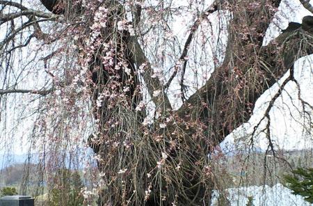 宇木区民会館前のしだれ桜(25.4.12)