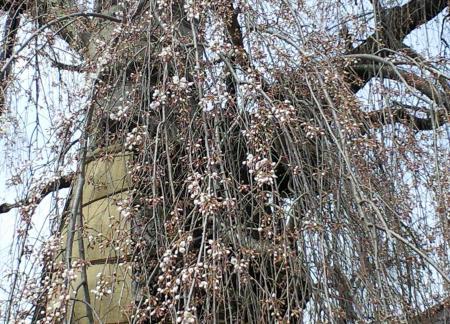 隆谷寺のしだれ桜(25.4.12)