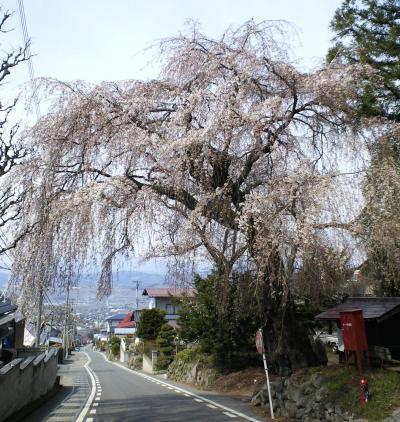 村社深澤神社のしだれ桜(25.4.12)