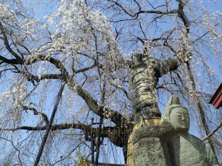 隆谷寺のしだれ桜(25.4.14)