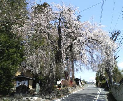 村社深澤神社のしだれ(25.4.14)