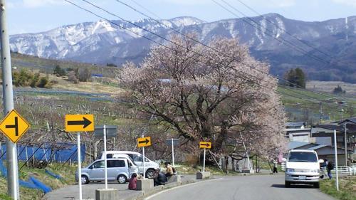 千歳桜に大勢の旅人(25.4.14)