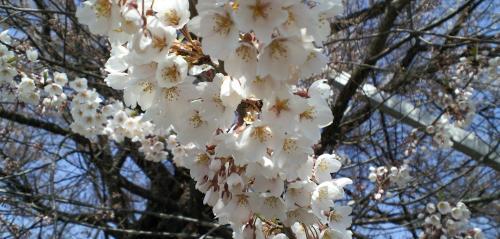 千歳桜の花たち(25.4.14)