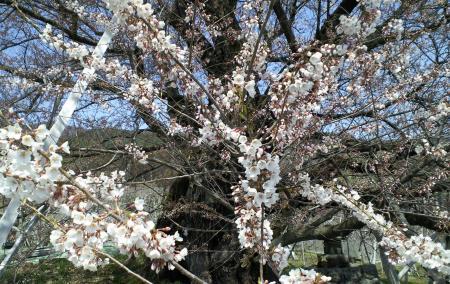 千歳桜の枝(25.4.14)